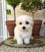 Female Maltese Pup