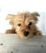 Yorkshire Terrier Puppy For Sale in WARREN, MA