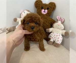 Poodle (Toy) Dog for Adoption in REDLANDS, California USA