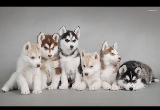 View Ad Siberian Husky Puppy For Sale Near Illinois Chicago Usa