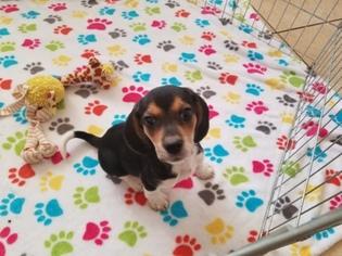 Beagle Puppy For Sale in TUCSON, AZ, USA
