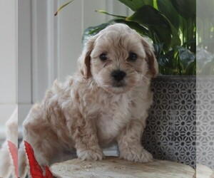 Maltipoo Dog for Adoption in MANHEIM, Pennsylvania USA