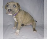 Puppy 5 American Pit Bull Terrier-American Staffordshire Terrier Mix
