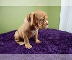 Puppy 5 Olde English Bulldogge