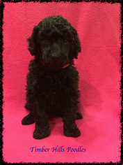 Poodle (Standard) Puppy For Sale in OOLOGAH, OK