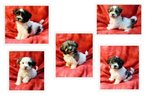 Havanese Puppy For Sale in WINSTON SALEM, North Carolina,
