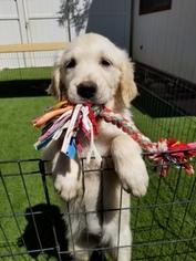 Golden Retriever Puppy For Sale near 93550, Palmdale, CA, USA
