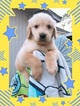 Golden Retriever Puppy For Sale near 77459, Missouri City, TX, USA
