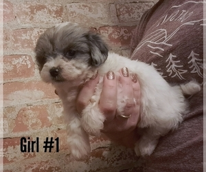 Havanese Dog for Adoption in WOOSTER, Ohio USA