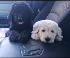Goldendoodle Puppy for Sale in WINSTON SALEM, North Carolina USA