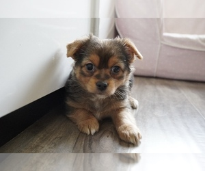 Chorkie Puppy for sale in LOS ANGELES, CA, USA