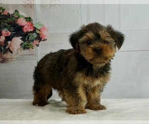 Zuchon Puppy for Sale in WARSAW, Indiana USA