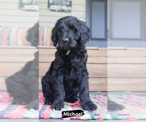 Goldendoodle Puppy for sale in ANDREWS, NC, USA