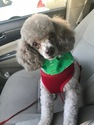 Toy Poodle needs loving new home