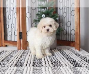 Shih-Poo Dog for Adoption in NAPLES, Florida USA