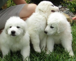 Great Pyrenees Puppy for sale in GRANDVIEW, TX, USA
