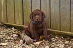 Labrador Retriever Puppy For Sale in SAEGERTOWN, PA, USA