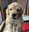Goldendoodle Puppy For Sale in KENNEBUNKPORT, ME, USA