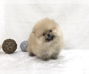 pomeranian san diego view ad pomeranian puppy for sale near california san 8225