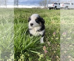 Small #29 Australian Shepherd