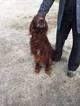 Irish Setter Puppy For Sale in TUSCOLA, IL, USA