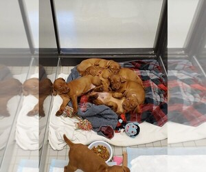 Vizsla Puppy for sale in CITY OF SPOKANE VALLEY, WA, USA