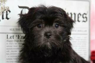 Cash Male Lhasa Apso Puppy