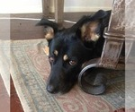 Small #2 German Shepherd Dog-Labrador Retriever Mix