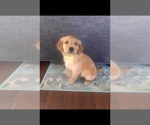 Golden Retriever Puppy for Sale in P C BEACH, Florida USA