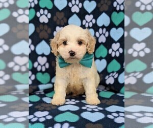 Medium Cavachon-Poodle (Toy) Mix
