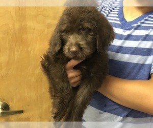 Labradoodle Puppy for Sale in WILSONVILLE, Oregon USA