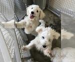 Intelligent Bichon frise puppies