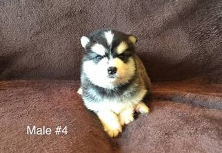 Alaskan Malamute Puppy For Sale in HUGGINS, MO