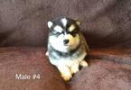 Male 4  AKC Alaskan Malamute pup