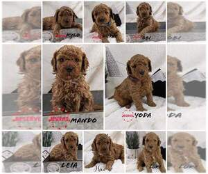 Poodle (Miniature) Puppy for sale in PEORIA, IL, USA