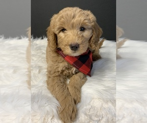 Goldendoodle Puppy for sale in DEER RIDGE, MO, USA