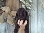 Cocker Spaniel Puppy For Sale in PETERSBURG, IN,
