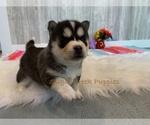 Puppy 6 Pomsky