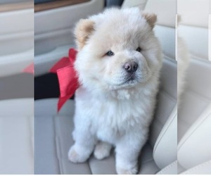 Chow Chow Puppy for sale in ALBANY, CA, USA