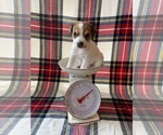 Puppy 5 Parson Russell Terrier
