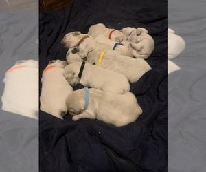 Golden Retriever Puppy for Sale in BOUNTIFUL, Utah USA