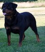 Rottweiler Puppy For Sale in FULTON, NY