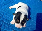 Jack Russell Terrier Puppy For Sale in KINSLEY, KS