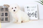 Doug Male Cavapoo Puppy