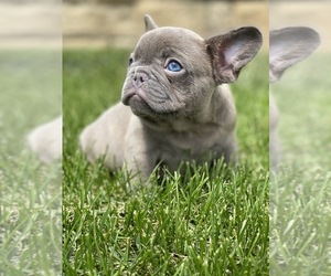 French Bulldog Dog for Adoption in OJAI, California USA