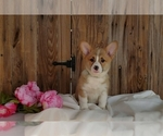 Puppy 2 Pembroke Welsh Corgi