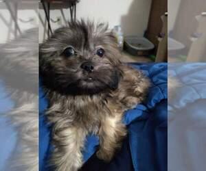 Zuchon Puppy for sale in BROWN DEER, WI, USA