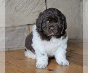 Newfoundland Puppy for sale in FREDERICKSBG, OH, USA