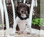 German Shorthaired Pointer Puppy For Sale in NARVON, PA, USA