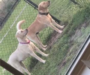 Labrador Retriever Puppy for sale in WEST, TX, USA